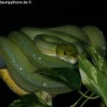Morelia viridis, Sorong, Grüner Baumpython, Chondropython viridis, Festland Typus, female, weibchen