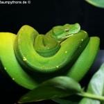 Morelia viridis, Sorong, Grüner Baumpython, Chondropython viridis, Festland Typus, male,