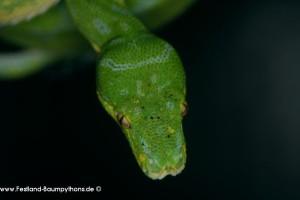 Kopfportrait Morelia viridis, Grüner Baumpython, Chondropython viridis