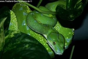 Knickschwanz, Morelia viridis, Grüner Baumpython, Chondropython,