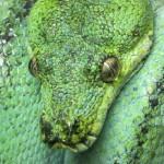 Zucht Morelia viridis , Grüner Baumpython, Chondropython