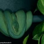 Paarung Morelia viridis , Grüner Baumpython, Chondropython