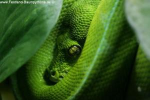Morelia viridis sorong