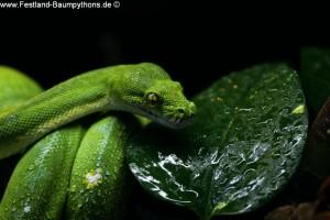 Morelia viridis sorong trinken