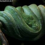 Weibchen Grüner Baumpython