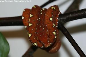 Morelia viridis, sorong, abzugeben