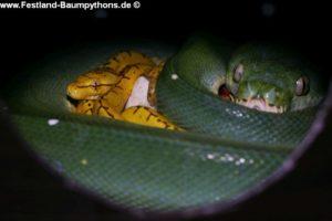 Morelia viridis Hatch