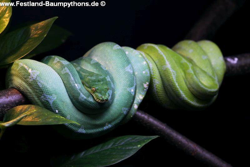 Morelia azurea pulcher, Festland Typus, Lokalität, Sorong, Grüner Baumpython, Chondropython