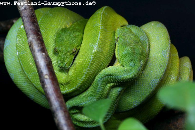 Morelia viridis/azurea/pulcher/utaraensis