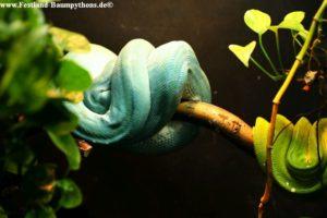 Zuchtpaar Morelia viridis Sorong