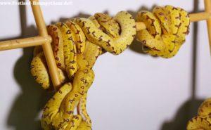 Schlupf Morelia viridis Sorong